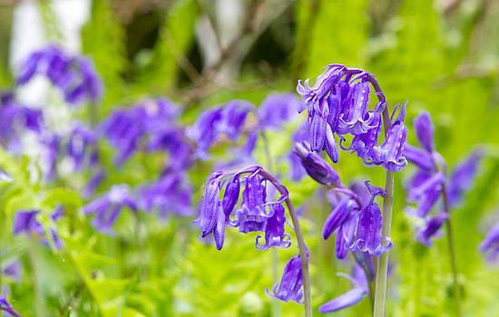 Spring bluebells growing in English countryside  by Fizzy Image