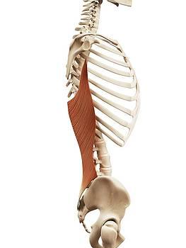Human Back Muscles by Sebastian Kaulitzki