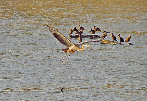 6214 Heron in flight by J D  Whaley