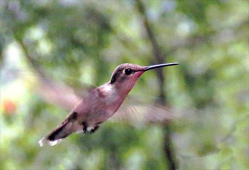 6608 Hummingbird in flight by J D  Whaley