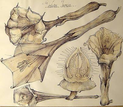 6.Datura Inoxia by Gabriel Kelemen