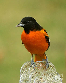 Baltimore oriole by Lori Tordsen