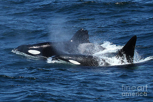 California Views Mr Pat Hathaway Archives - CA217 and CA171B Biggs Transients type Killer Whales in Monterey Bay