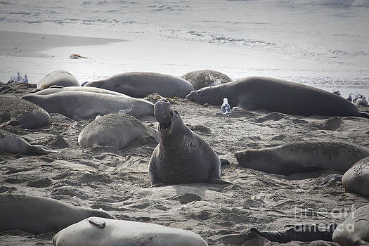 California Elephant Seals  by Jose M Beltran