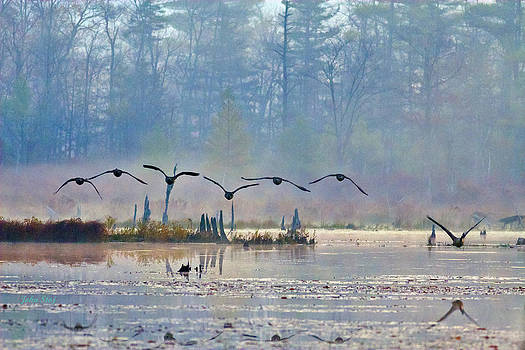 7 Canada Geese At Dawn by John Stoj