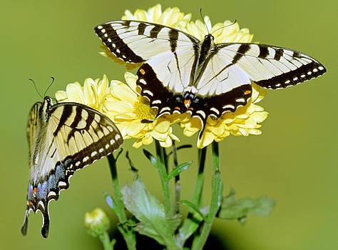 Eastern Tiger Swallowtail Butterflies by Millard H. Sharp