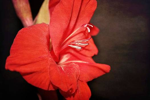 Gladiola  by Cathie Tyler