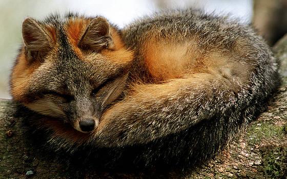 Gray Fox by Millard H. Sharp
