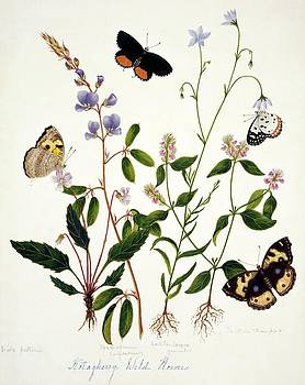 Indian Butterflies And Flowers by Natural History Museum, London/science Photo Library