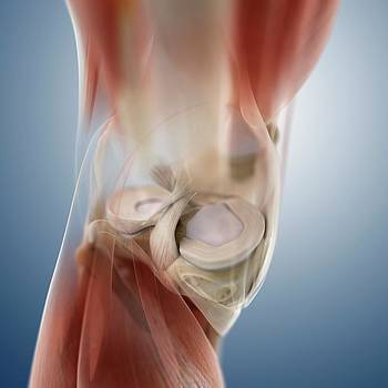 Knee Anatomy by Springer Medizin/science Photo Library