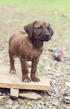 7 Week Old Rhodesian Ridgeback Puppy by Gillian Vann