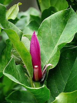 7132 Magnolia Flowerbud by J D  Whaley