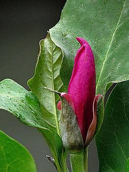 7138 Magnolia bud by J D  Whaley