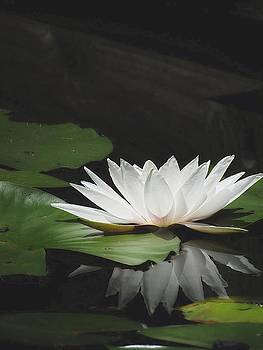 7508 White Waterlily With Reflection by J D  Whaley