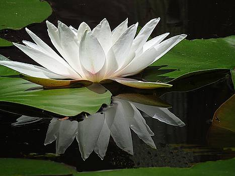 7509 White Waterlily with reflection by J D  Whaley