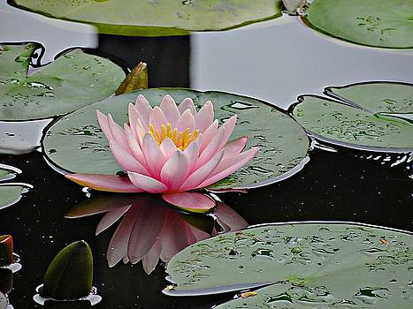 7594 Pink Waterlily by J D  Whaley