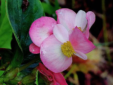 7601 Pink Begonia by J D  Whaley