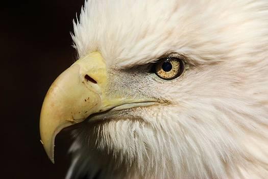 Paulette Thomas - American Bald Eagle