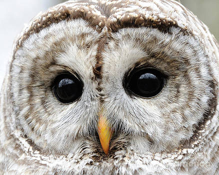 Scott Linstead - Barred Owl