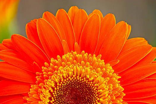 Orange gerber by Borislav Marinic