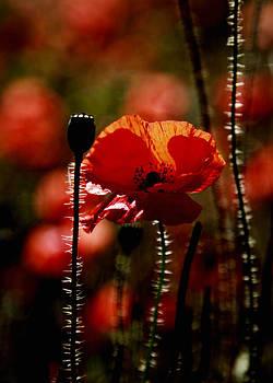 Poppy by Falko Follert