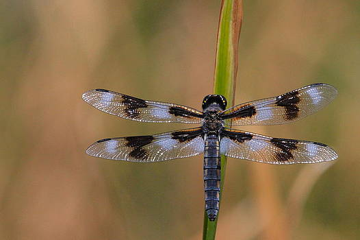 8-Spotted Skimmer by Paul Marto