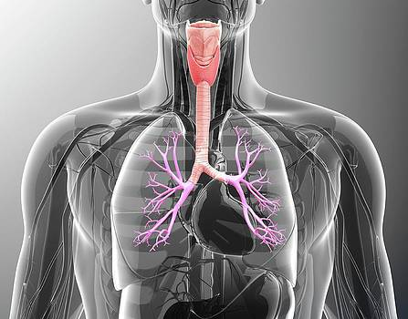 Human Respiratory System by Pixologicstudio
