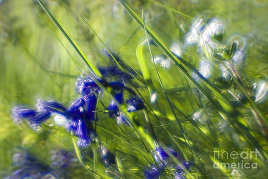 Angel  Tarantella - bluebells