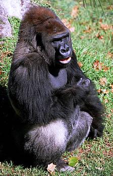 Silverback Western Lowland Gorilla by Millard H. Sharp