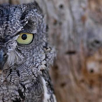 Western Screech Owl by Kike Calvo