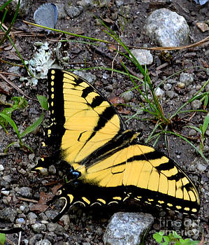 A Beautiful Swallowtail Butterfly by Eva Thomas