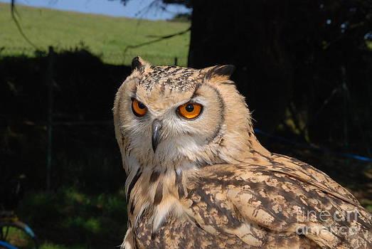 Joe Cashin - A Bengal Eagle Owl