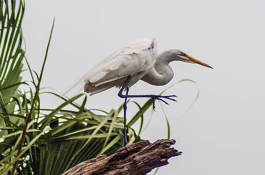 Charles Moore - A big step for an Egret.