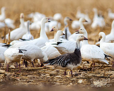 A Blue Goose by Brian Williamson