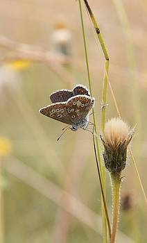 A Brown Argus on stem by Bob Kemp