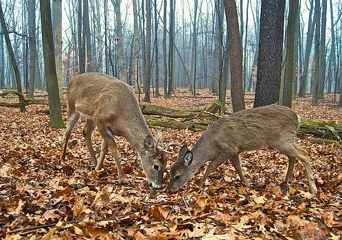 Michael Peychich - A Buck and Doe Foraging Together 1269