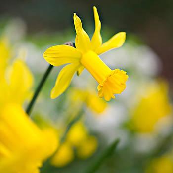 A Burst of Spring by Sarah-fiona  Helme