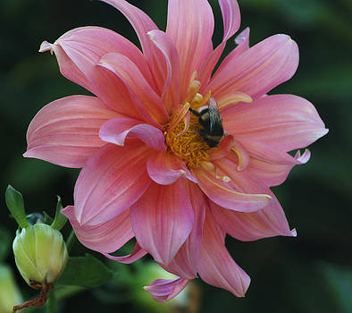 A Busy Bee in the Dahlia by Thomas D McManus