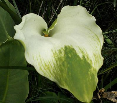 A Calla Lily Leaf by Shan Ungar