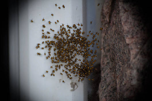 A Cluster of Spiders by BandC  Photography