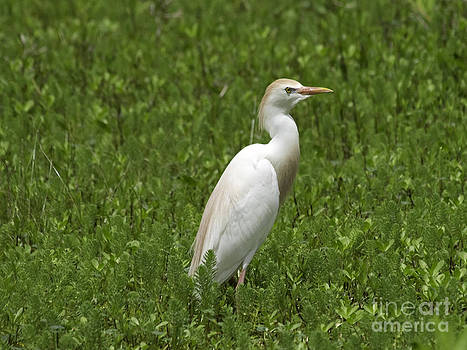Tim Moore - A Colorful Cattle Egret