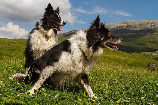 A couple of border collies  by Gabor Pozsgai