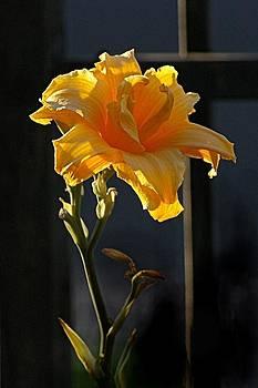 A Day Lily by JAXINE Cummins