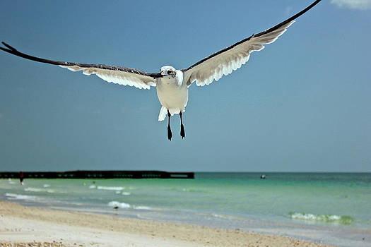 Amazing Jules - A Florida Gull