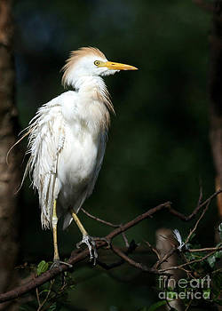 Sabrina L Ryan - A Fluffed Cattle Egret
