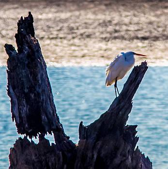 A Gaint Egret  by Brian Williamson