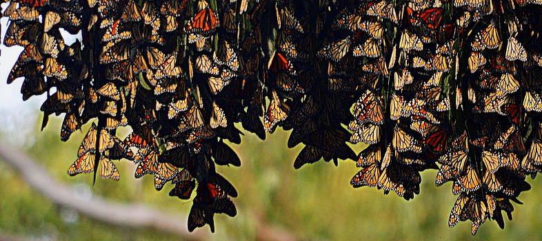 A Gathering of Monarchs by AJ  Schibig