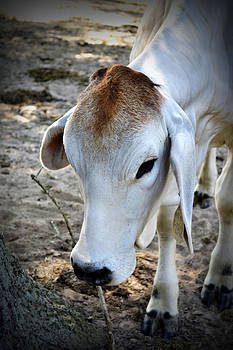 A Gentle Cow by Richelle Munzon