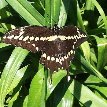 A Giant Swallowtail Butterfly by Brett Dewey