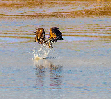 A Golden Eagle Fishing by Brian Williamson
